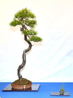 Noelanders trophy : les plus beaux bonsaï européens