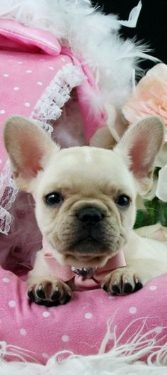 French Bulldog Puppies For Sale, dogs for sale