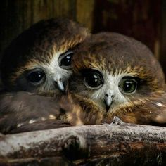 "Birds of a feather cuddle together. ""Love Birds"" by Ross Van der Watt, via Animals And Pets, Baby Animals, Cute Animals, Funny Animals, Beautiful Owl, Animals Beautiful, Lovely Eyes, Simply Beautiful, Owl Bird"