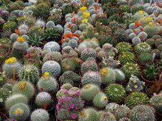 El secreto de los #cactus es saber cuándo regarlos. Aprende todo sobre ellos y cómo incluírlos en tu #jardín.