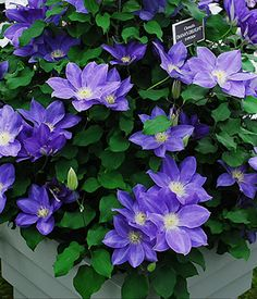 Diana's Delight Clematis - 1 Gallon - Clematis - All - Buy Plants Online Buy Plants Online, Landscape Maintenance, Clematis Vine, Lawn And Landscape, Royal Garden, Types Of Plants, Beautiful Gardens, Garden Plants, Perennials