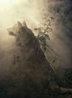 Wolf in sunlight!                                                                                                                                                                                 More