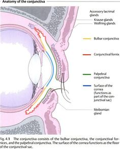 anatomy of the conjunctiva