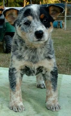 ~•••••♡•••••~ Australian Cattle Dog Puppy, Austrailian Cattle Dog, Australian Animals, All Breeds Of Dogs, Dog Breeds, I Love Dogs, Cute Dogs, Puppies And Kitties, Doggies