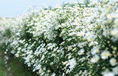 Vẻ đẹp của hoa cúc họa mi Hà Nội