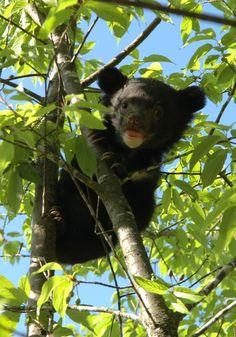 Baby Asian Black bear
