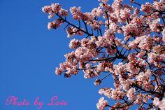 青い空に満開の桜 気分はもうすっかり春★ コメントは少しずつ返信しますね★ by 愛花姫20