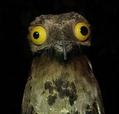 The Great Potoo bird will probably be one of the creepiest birds you have come across. Cartoon Birds, Funny Birds, Great Potoo, Potoo Bird, Dumb Animals, Comedy Wildlife Photography, Photography Awards, Nature Photography, Funny Animal Pictures