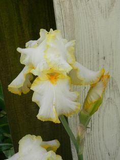 Bride's Halo Iris Iris Flowers, Love Flowers, Growing Irises, Iris Painting, Iris Garden, Wonderful Flowers, Hens And Chicks, Bearded Iris, Sweet Peas