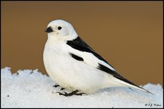Snow Bunting (Plectrophenax nivalis), found in the Arctic and a few select spots just south of the Arctic.