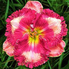 Pete Harry Daylilies... Daylilies Of Distinction-Barbara Burkhart 200.00