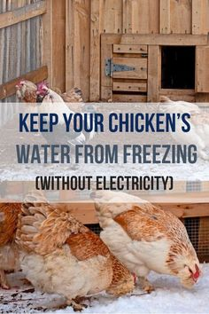 Keeping your chickens water from freezing during the winter can be tricky! Learn how to do it without electricity with these tips! Backyard chicken beginners need to know these hacks for keeping chickens water from freezing without electricity