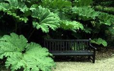 Gunnera manicata : also known as Dinosaur Food, really! =) NOTICE THE HUMAN SIZED BENCH tucked inside...