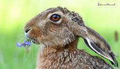 Chewy louie | Flickr - Photo Sharing! Hare Pictures, Rabbit Pictures, Cute Animal Pictures, Wild Rabbit, Jack Rabbit, Rabbit Art, Beautiful Creatures, Animals Beautiful, Animals And Pets
