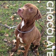 Chocolate is a one year old terrier/pit bull mix looking for a home. Meet him at 184 Verona Street!