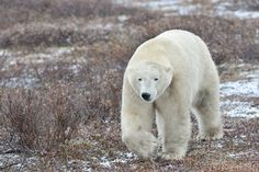 With bear attacks on the rise in many parts of the world, here's a look at how to meet a black, brown or polar bear and come out alive.