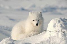 Arctic Fox by Denise LeBleu Polar Animals, Cute Animals, Fox Kids, Arctic Fox, Animal 2, Wildlife, Foxes, Friends, Nature