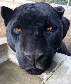 S A V E J A G U A R S The most handsome #Michaelingui of the @blackjaguarwhitetiger foundation!!! What a gorgeous jaguar he is. Thank you to all who support the foundation, and to all of you who have donated to help better the lives of these beautiful animals
