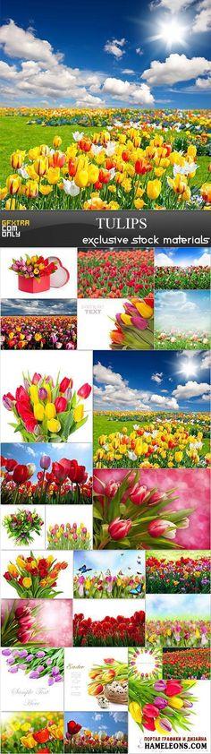 Растровый клипарт - Тюльпаны: цветы на полях, в букетах | Tulips