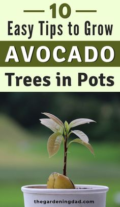 10 EASY Tips to Grow Avocado in Pots The Gardening Dad 10 EASY Tips to Grow Avocado in Pots The Gardening Dad June 038 Sage Natural Lifestyle and Wellness nbsp hellip grow tips Growing Zucchini, Growing An Avocado Tree, Avocado Tree Care, Indoor Avocado Tree, Avocado Seed, Avocado Plant From Seed, Mango Tree, Home Vegetable Garden, Potted Trees