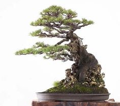 Bonsai Tree Care, Bonsai Tree Types, Indoor Bonsai Tree, Bonsai Art, Bonsai Garden, Terraria Tips, Bonsai Styles, Miniature Trees, Small Trees