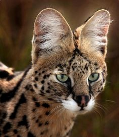 The serval is my favorite of the big cat family. Who can you resist those ears?!
