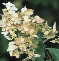 http://www.finegardening.com/panicle-hydrangea-hydrangea-paniculata-'unique'