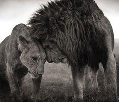 leones.jpg (836×717)
