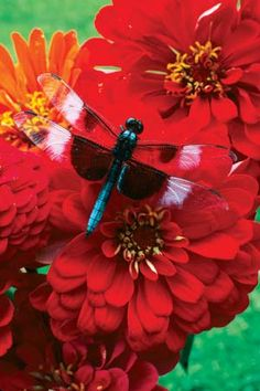 The next time you spy a dragonfly skimming over a pond or darting and diving among streamside reeds, consider this: For more than 300 million years, the whirring wings of dragonflies have shimmered in the light of our planet's sustaining star. Long before the first two-legged mammals stumbled onto the scene, before the first birds, before the first dinosaurs, dragonflies thrived in the moist jungles that once covered much of Earth. And some of them were huge!!
