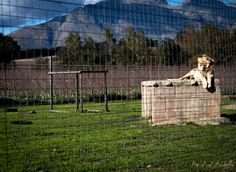 Lion at the Big Cats Park at Delheim Winery in Stellenbosch, Cape Town. Cat Park, I Site, Cape Town, Big Cats, Lion, Horses, Animals, Leo, Animales