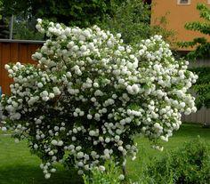 Viburnum opulus 'Roseum',Snowball bush