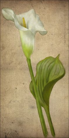 Digital graphic art by Alex Klepnev Botanical Drawings, Botanical Art, Botanical Illustration, Calla Lillies, Calla Lily, Blossom Flower, Flower Art, Watercolor Cards, Watercolor Paintings