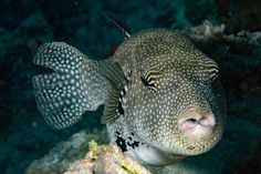 Human teeth evolved from the same genes that make the teeth of pufferfish, new research concludes. This research, say investigators, could be used to help address tooth loss in humans.