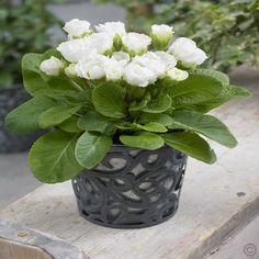 Gefüllte Rosen-Primeln White Parade - 1 pflanze günstig online kaufen, bestellen Sie schnell und bequem online