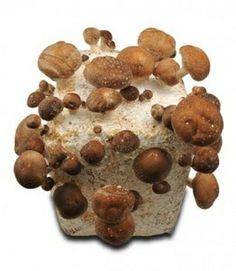 Grow your own Shiitake Mushroom Kit - Smithy Mushrooms Ltd