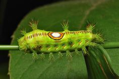 "Stinging Nettle Slug Caterpillar (Cup Moth, Limacodidae) ""Bullseye"""