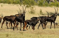 sable antelope images - Google Search