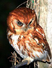 Eastern Screech Owl, red morph