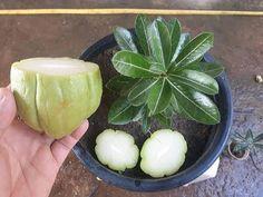 incrível coloque pedaço de chuchu nas plantas e vejam o excelente resultado. - YouTube