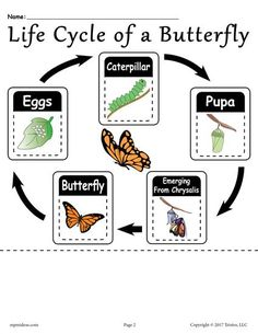 Butterfly Life Cycle Answer Key