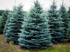 Buy Baby Blue Spruce Online. Arrive Alive Guarantee. Free Shipping On All Orders Over $99. Immediate Delivery.