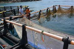 Σε 80.000 ευρώ ανέρχεται η αξία ανά στρέμμα της θαλάσσιας ιχθυοκαλλιέργειας, αλλά, αν και η χώρα μας κατέχει πρωτιές, παραμένει ελλειμματική σε ψάρι.