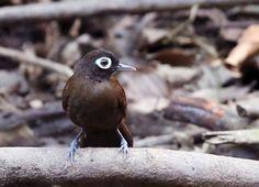 Mãe-de-taoca-de-cara-branca (Rhegmatorhina gymnops)