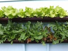 A crop of Black Seeded Simpson lettuce grows above a row of mesclun lettuce below.   Courtesy of Suzanne Forsling