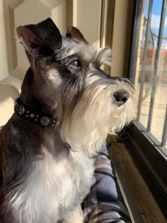 Zoe - Dog for Apartments Best Small Dog Breeds, Best Small Dogs, Small Mixed Breed Dogs, Mini Schnauzer Puppies, Miniature Schnauzer, Dogs And Kids, Dogs And Puppies, Funny Dogs, Cute Dogs