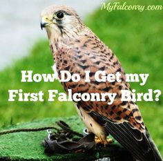 An introduction to trapping your first falconry bird.