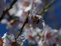 Summ, summ, summ, Bienchen flieg herum.   Mandelblüte im Frühjahr.  Mandelbäume sind übrigens die ersten Blüher. Schaut toll aus, wenn die Landschaft mit weißen Punkten aufleuchtet.  #Provence #Aroma #Olivenoel #Onlineshop #Forcalquier #Naturkosmetik