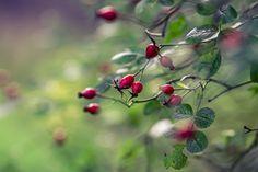 Rose hips  #autumn #myt