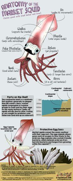 Anatomy of the Market Squid (Doryteuthis opalescens) Underwater Creatures, Ocean Creatures, Jellyfish Art, Giant Squid, Marine Biology, Animal Facts, Fish Design, Science Education, Ocean Life