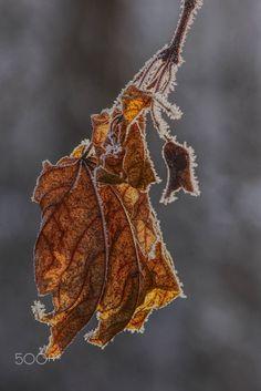 frozen leaf - frozen maple leaf